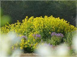 菜の花と林.JPG